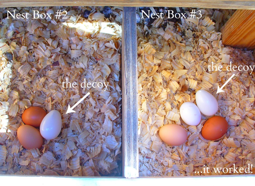 How To Get All Your Chickens To Lay In All Their Nest Boxes ...